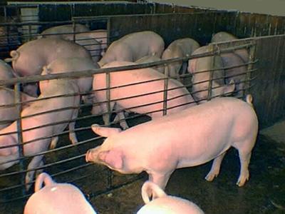 Últimos cerdos de la ganadería